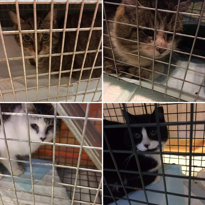 2 Males, 2 Females, Jordantown - all 4 are now sheltered barn cats in Clementsvale!
