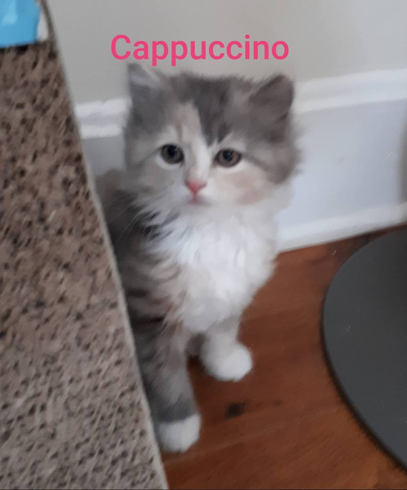 Cappuccino, Digby – adopted through Tantallon