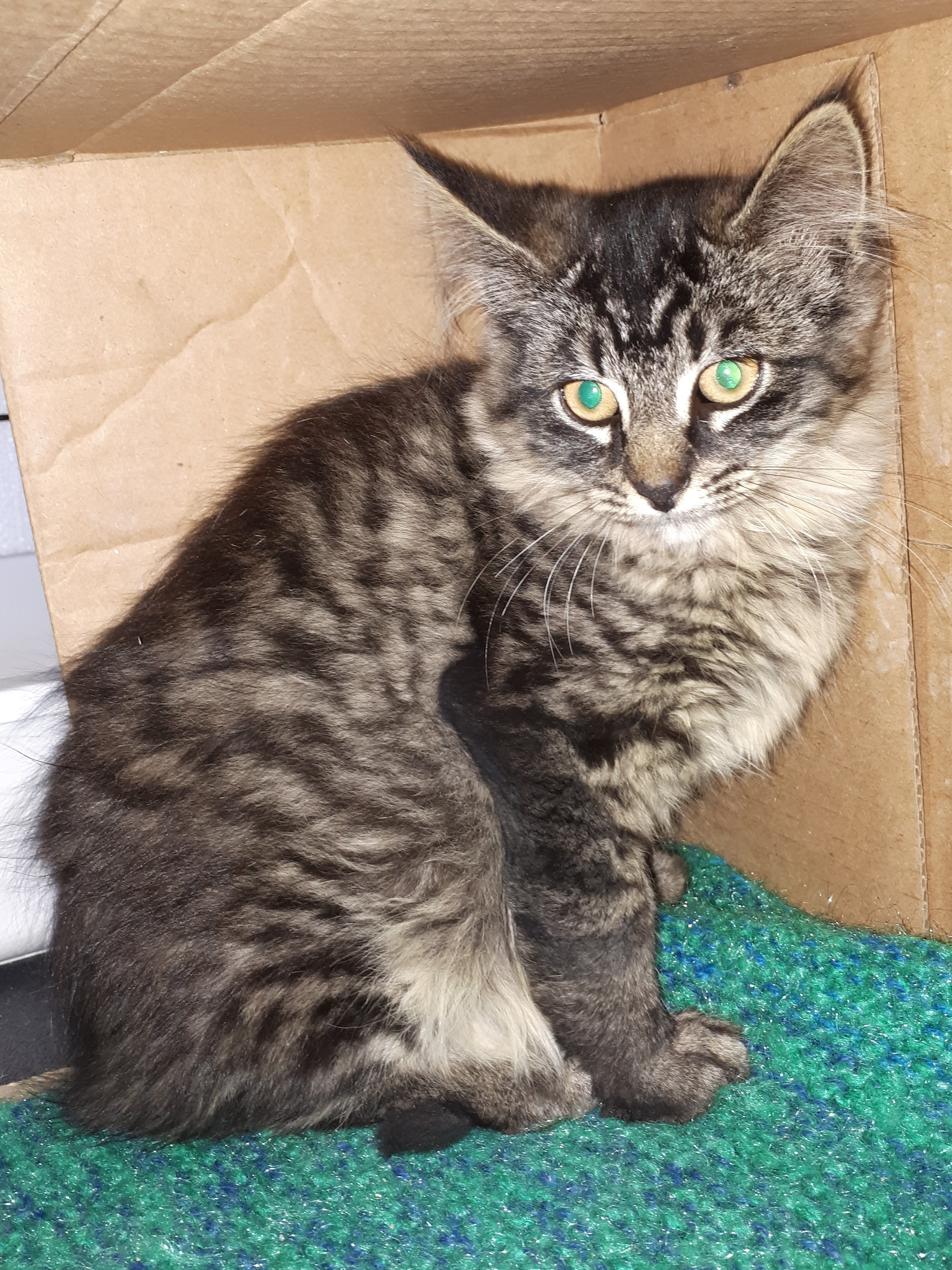 Beyonce, Litter River - transported to SPCA Yarmouth for adoption