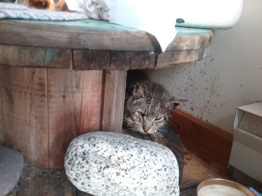 Samuel, Brier Island – TNR; returned to his feral colony